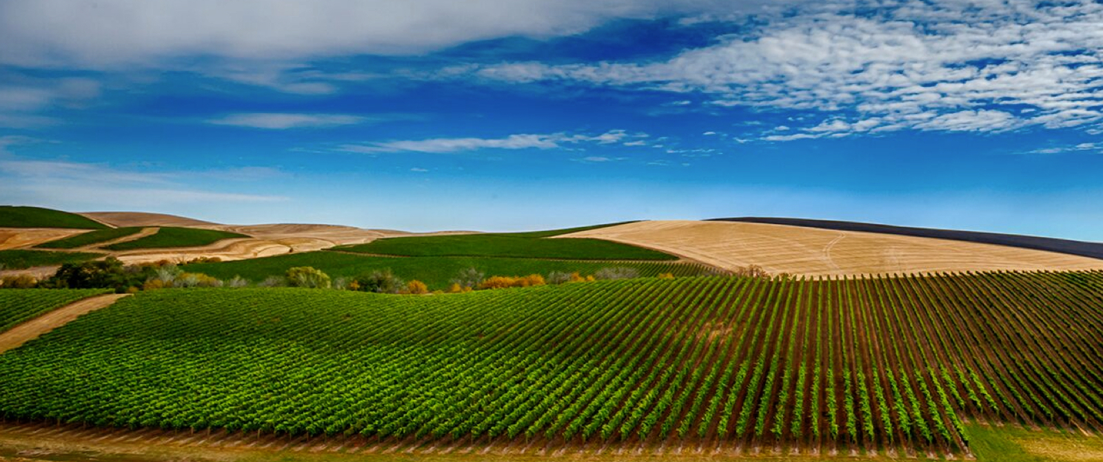 Vineyards and Palouse wheat fields